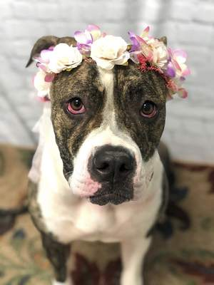Allen County SPCA Amidala is a spayed 1-year-old mixed breed who weighs in at 88 pounds. She loves attention. For more information on her or any other pet at Allen County SPCA, 4914, S. Hanna St., call 744-0454 or go to www.acspca.org.