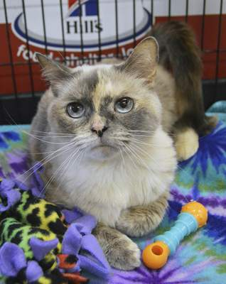 Allen County SPCA Lila is a spayed and declawed 5-year-old Siamese/exotic shorthair mix who has a bright future despite feline leukemia. For information on her or any other pet at Allen County SPCA, 4914, S. Hanna St., call 744-0454 or go to www.acspca.org.