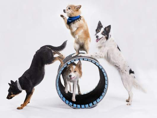 Courtesy Dogs will perform today as part of the Mutts Gone Nuts show at the Honeywell Center in Wabash.