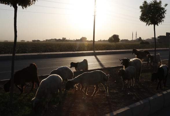 Sheep are led in Akcakale, Sanliurfa province, southeastern Turkey, at the border with Syria, Saturday, Oct. 12, 2019. The towns along Turkey's border with northeastern Syria have been on high alert after dozens of mortars fired from Kurdish-held Syria landed, killing several civilians. (AP Photo/Lefteris Pitarakis)