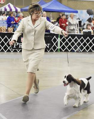 Rachel Von Stroup | The Journal Gazette  Dawn Wuerl runs with her dog Callie, an English springer spaniel, during judging during the Old Fort Cluster Dog Show at the Memorial Coliseum on Saturday.