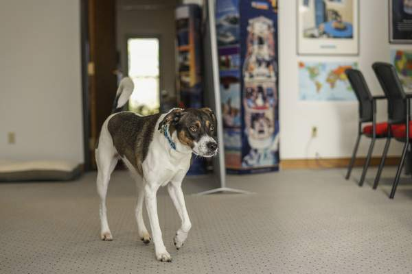 Mike Moore | The Journal Gazette Louie  enjoys greeting customers and playing with their kids at Advance Travel on East State Boulevard.