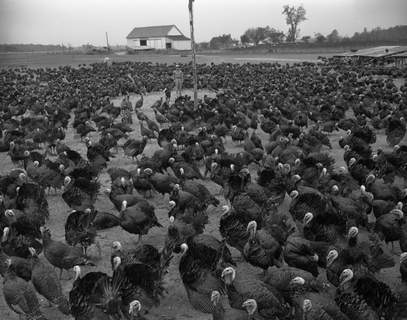 This flock of 4,000 turkeys on a farm near Hoagland was the largest in Allen County in 1948. (Journal Gazette file photo)