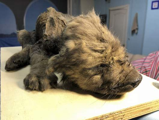 Associated Press This photo taken  Sept. 24, 2018, shows an 18,000-year-old puppy found in permafrost in the Russia's Far East on display at the Yakutsk's Mammoth Museum, Russia.