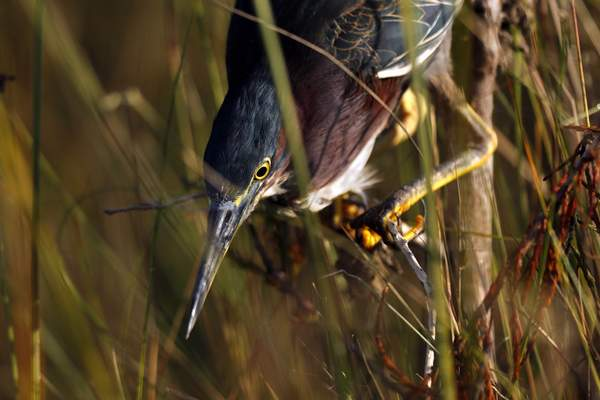 In this Friday, Oct. 18, 2019 photo, a green heron hunts for small fish in Everglades National Park, near Flamingo, Fla. (AP Photo/Robert F. Bukaty)