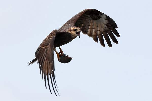 In this Friday, Nov. 1, 2019 photo, an endangered snail kite flies with an apple snail at Lake Kissimmee in Kenansville, Fla. (AP Photo/Robert F. Bukaty)