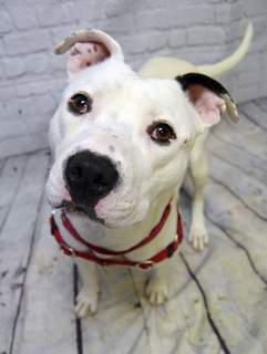 Allen County SPCA Anya is a 2-year-old spayed boxer/pit bull terrier mix. Meet Anya and other adoptable dogs at the Allen County SPCA shelter, 4914 S. Hanna St. Or call 744-0454.