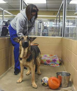 Michelle Davies   The Journal Gazette Macon, an 11-month-old German Shepherd mix up for adoption, waits patiently as Trish Galvan brushes him Wednesday at Allen County SPCA.
