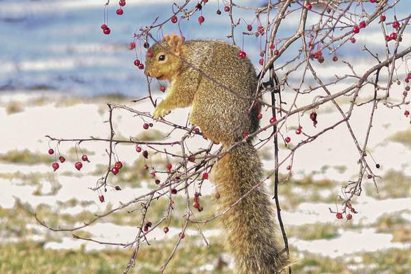 Mike Moore | The Journal Gazette A squirrel checks out some red berries Wednesday afternoon while chilling on a branch at Bob Arnold Northside Park.