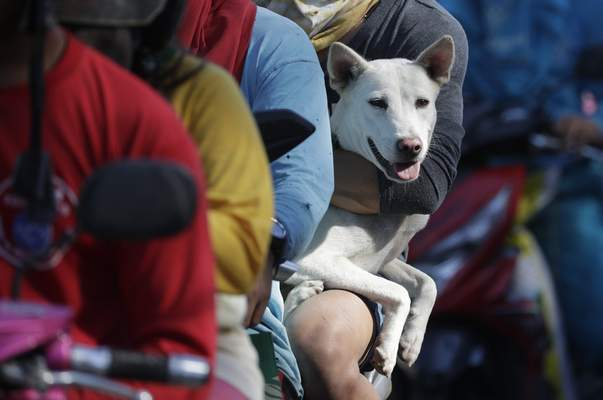 A dog waits in line with his owner as authorities enforced total evacuation of residents living near Taal volcano in Agoncillo town, Batangas province, southern Philippines on Thursday Jan. 16, 2020. (AP Photo/Aaron Favila)