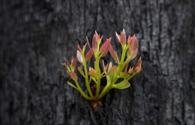 Leaves begin to sprout from the trunk of a blackened and burned tree near Nattai, Australia, Thursday, Jan. 16, 2020. (AP Photo/Rick Rycroft)