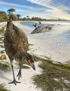 Wonderchicken Bird Fossil This illustration by Phillip Krzeminski provided by researchers in March 2020 shows the world's oldest modern bird, Asteriornis maastrichtensis, nicknamed the