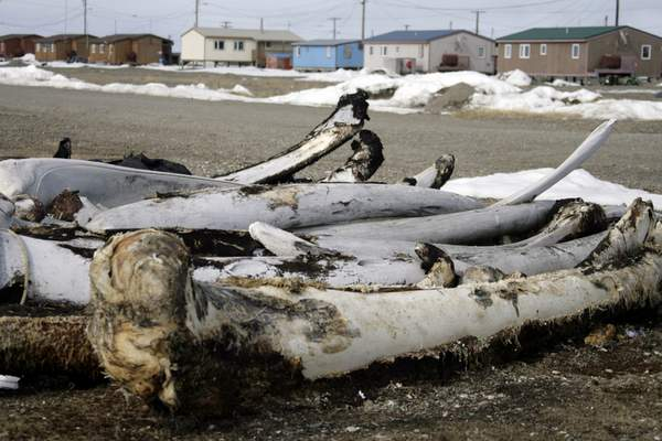 FILE - In this Oct. 13, 2006, file photo, whale bones from past hunts sit in the village Point Hope, Alaska. The pandemic's toll in big U.S. cities like New York, Seattle and San Francisco has dominated headlines, but enormous swaths of rural America from coastal Georgia to the frozen reaches of Alaska are also deeply affected by the rapid spread of the new coronavirus. In Alaska's Point Hope, an Inupiat whaling village at the edge of the Arctic Ocean nearly 700 miles north of Anchorage, tribal leaders held a meeting this week to prepare and wrestled with whether or not to ban air travel into town. The state's limited road system doesn't reach the town of 900 people, which relies on planes for much of its connection to the outside world. (AP Photo/Al Grillo, File)