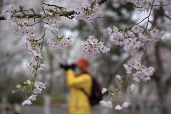 A visitor wearing a face mask takes photos near cherry blossoms at the Yuyuantan Park in Beijing on Thursday, March 26, 2020. (AP Photo/Ng Han Guan)