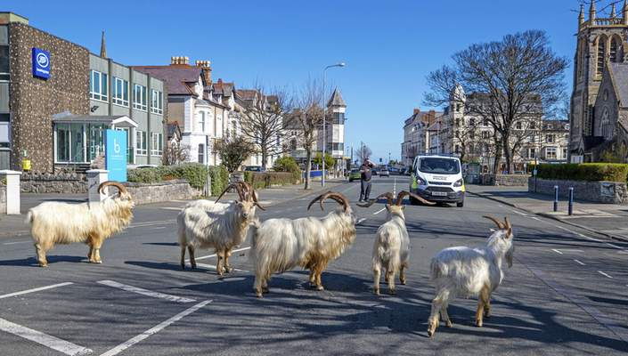 Associated Press Emboldened by streets left quieter than normal by coronavirus restrictions, goats wander through Llandudno, North Wales, on Tuesday.