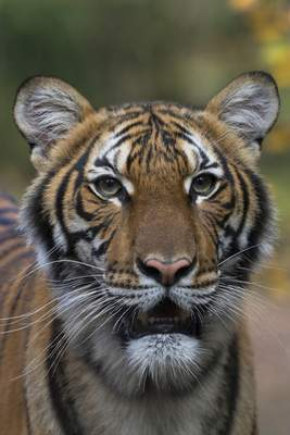 Wildlife Conservation Society Nadia, a Malayan tiger at the Bronx Zoo in New York, has tested positive for the new coronavirus.