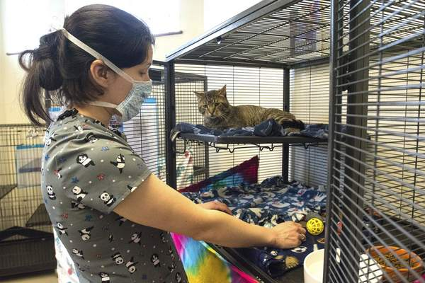 Photos by Michelle Davies | The Journal Gazette Patricia Peterson, transfer coordinator at Fort Wayne Animal Care & Control, does some light housekeeping for Morty, a 2-year-old domestic cat available for adoption.