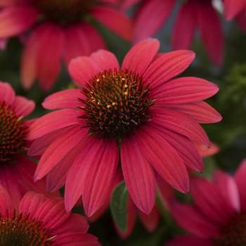 All-America Selections After surviving brutal winter and summer conditions, Echinacea Sombrero Baja Burgundy, a 2020 All-America Selections winner, continued to produce flowers midsummer to frost during a three-year plant trial.