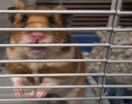 Virus Outbreak Diary Hamster at Home Associated Press