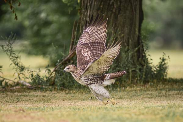 Mike Moore | The Journal Gazette A hawk is seen flying low on Sunday at Shoaff Park.