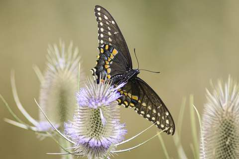 Mike Moore | The Journal Gazette  A black swallowtail butterfly quenches it's thirst on Monday on a thistle bush along the Rivergreenway.