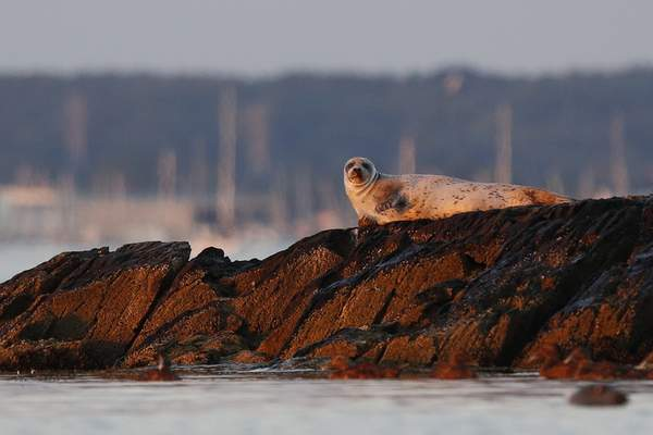 A seal lounges on rocks in Casco Bay, Thursday, July 30, 2020, off Portland, Maine. Seals are thriving off the northeast coast thanks to decades of protections. (AP Photo/Robert F. Bukaty)