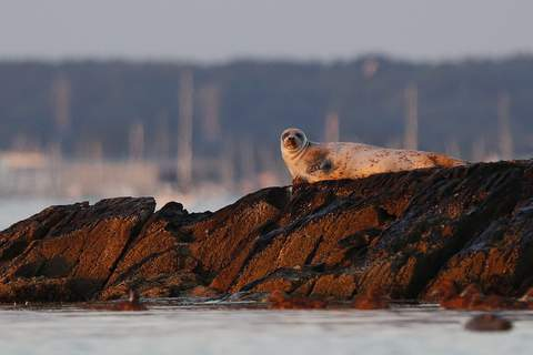 Sharks in New England A seal lounges on rocks in Casco Bay, Thursday, July 30, 2020, off Portland, Maine. Seals are thriving off the northeast coast thanks to decades of protections. (AP Photo/Robert F. Bukaty) (Robert F. Bukaty STF)