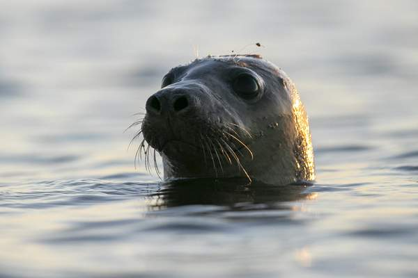 A seal pokes his head out of the water in Casco Bay, Thursday, July 30, 2020, off Portland, Maine. Seals are thriving off the northeast coast thanks to decades of protections. (AP Photo/Robert F. Bukaty)