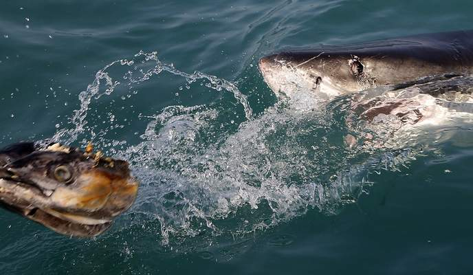 FILE - In this Aug. 11, 2016, file photo, a great white shark tries to bite a fish head being trolled though the water as researchers chum the ocean looking for sharks off the coast of Gansbaai, South Africa. (AP Photo/Schalk van Zuydam, File)