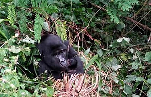 A Fully grown Gorilla holding baby in Bwindi National Park Uganda, Tuesday Aug.4.2020. Two new baby gorillas have been spotted in a national park where a beloved primate named Rafiki was killed in June, a Ugandan wildlife official said Tuesday, saying the additions are part of a baby boom in the forested protected area popular with tourists.(AP Photo/Uganda Wildlife Authority)