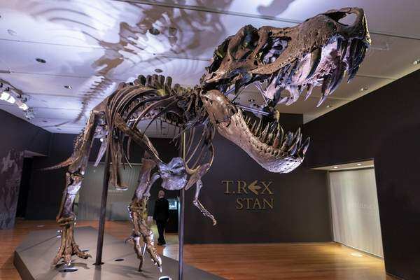 Stan, one of the largest and most complete Tyrannosaurus rex fossil discovered, is on display, Tuesday, Sept. 15, 2020, at Christie's in New York. (AP Photo/Mary Altaffer)