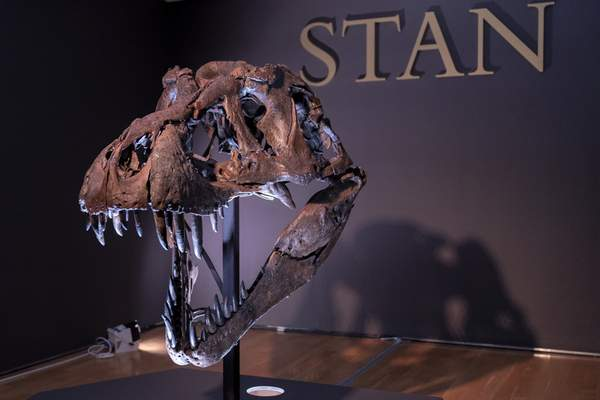 The skull of Stan, one of the largest and most complete Tyrannosaurus rex fossil discovered, is on display, Tuesday, Sept. 15, 2020, at Christie's in New York. (AP Photo/Mary Altaffer)