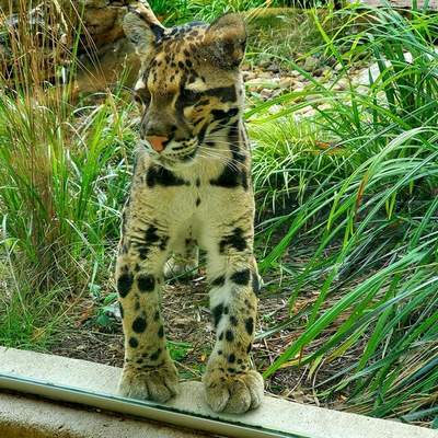 Fort Wayne Children's Zoo Sanji, a 10-month-old clouded leopard, has arrived at Fort Wayne Children's Zoo.
