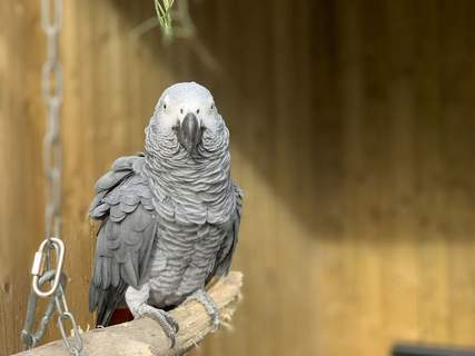 Britain Sweary Parrots This photo taken on Saturday Sept. 26, 2020 and issued by Lincolnshire Wildlife Park shows an African grey parrot at Lincolnshire Wildlife Centre in Friskney, England, one of five who were separated as keepers say they were encouraging each other to swear. Billy, Eric, Tyson, Jade and Elsie joined Lincolnshire Wildlife Centre's colony of 200 grey parrots in August, and soon revealed a penchant for blue language. (Steve Nichols/Lincolnshire Wildlife Park via AP) (Steve Nichols