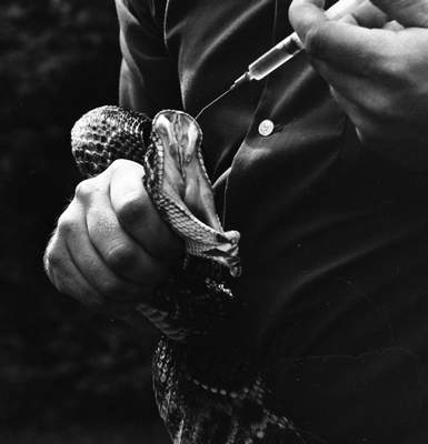 July 1966: Bill Minnick injects a rattlesnake with an antiseptic solution after feeding the snake. (Journal Gazette file photo)