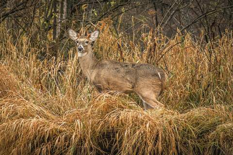 Mike Moore   The Journal Gazette A buck stands watch near the rivers edge Wednesday north of the city.