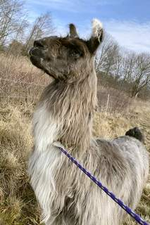 Found Llama This Monday, Jan. 4, 2021, photo released by Newburyport/West Newbury Animal Control shows a male llama that was found Monday alone in a field near Interstate 95 in Newburyport, Mass. The llama was temporarily kept at a local farm until its owner could be located. (Kayla Provencher/Newburyport/West Newbury Animal Control via AP) (Kayla Provencher HONS)