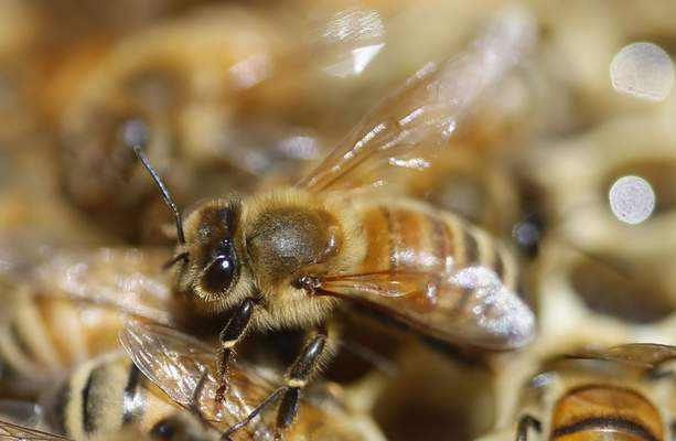 FILE - In this May 20, 2019 file photo, honeybees are shown on a frame at beekeeper Denise Hunsaker's apiary, in Salt Lake City. (AP Photo/Rick Bowmer, File)