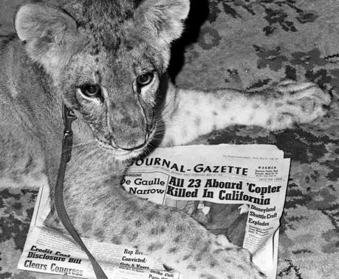 May 23, 1968: Moments after this picture was taken, Samantha the lion devoured the day's edition of The Journal Gazette. It's one of her bad habits, laughed owner Bill Minnick. (Journal Gazette file photo)