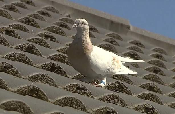 Associated Press In this image made from video, a racing pigeon sits on a rooftop Wednesday in Melbourne, Australia.