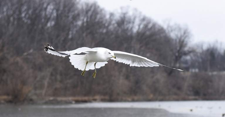 Katie Fyfe | The Journal Gazette  A seagull flies near Shoaff Lake at Franke Park Tuesday afternoon.