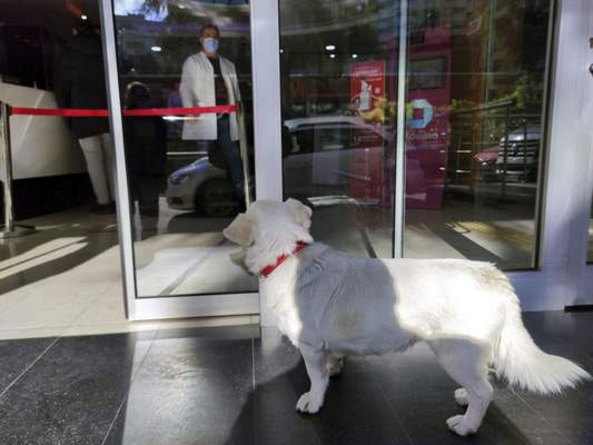 Devoted dog Boncuk looks for his owner, Cemal Senturk, at the entrance of a medical care facility in the Black Sea city of Trabzon, Turkey, Tuesday, Jan. 19, 2021. (DHA via AP)