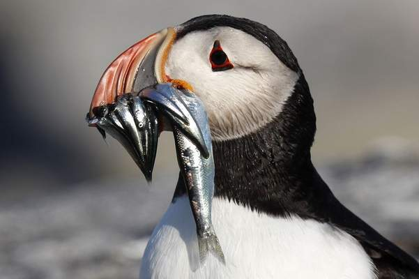 n this July 19, 2019 file photo, an Atlantic puffin carries bait fish it will feed its chick on Eastern Egg Rock, a small island off the coast of Maine. (AP Photo/Robert F. Bukaty, files)