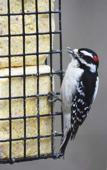Katie Fyfe | The Journal Gazette A downy woodpecker enjoys a snack from a suet feeder at Fox Island County Park on Sunday afternoon.