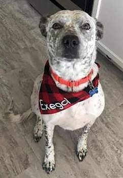 Allen County SPCA Exegol is a 6-year-old neutered Australian cattle dog mix.Exegol has much to learn, so he'd do best  with dog-savvy older kids in the home. Come meet him and other adoptable dogs at the Allen County SPCA, 4914 S. Hanna St. Or call 744-0454.