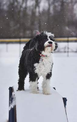 Katie Fyfe | The Journal Gazette  Dexter, a 14-year-old Portuguese water dog, plays at Pawster Park Monday morning.