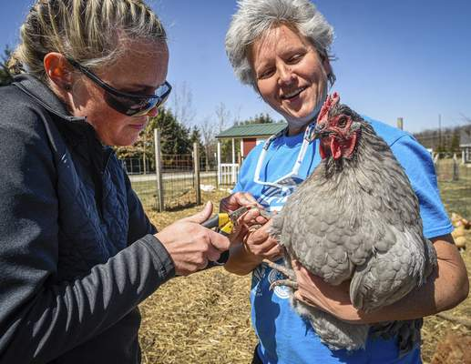 Mike Moore | The Journal Gazette  Park employees DeAnna Harris, left, and Margo Nussbaum work diligently Sunday to trim toenails of resident chickens at Salomon Farm Park on Dupont Road.