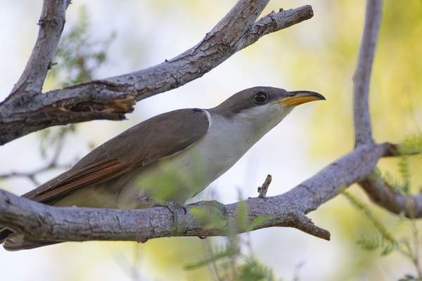 Associated Press U.S. wildlife managers have set aside vast areas across several states as habitat critical to the survival of the rare yellow-billed cuckoo, which migrates from Central and South America.