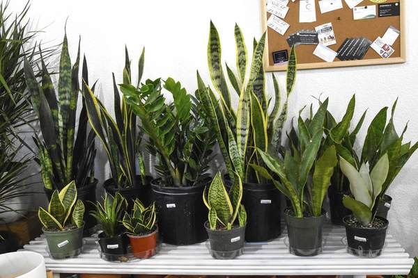 Michelle Davies | The Journal Gazette Varieties of ZZ and Snake plants available at Honey Plant on Wells Street.