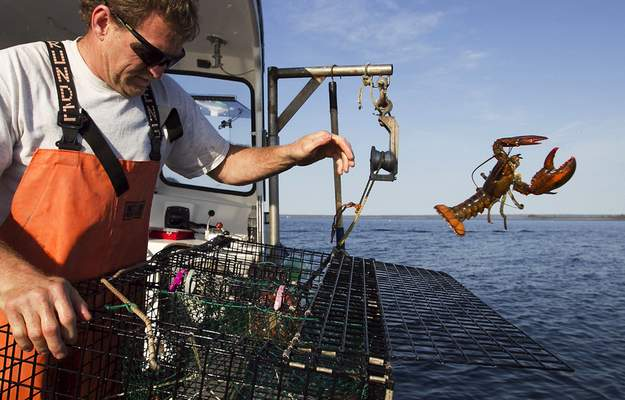 FILE - In this May 21, 2012, file photo, Scott Beede returns an undersized lobster while checking traps off Mount Desert, Maine. (AP Photo/Robert F. Bukaty, File)